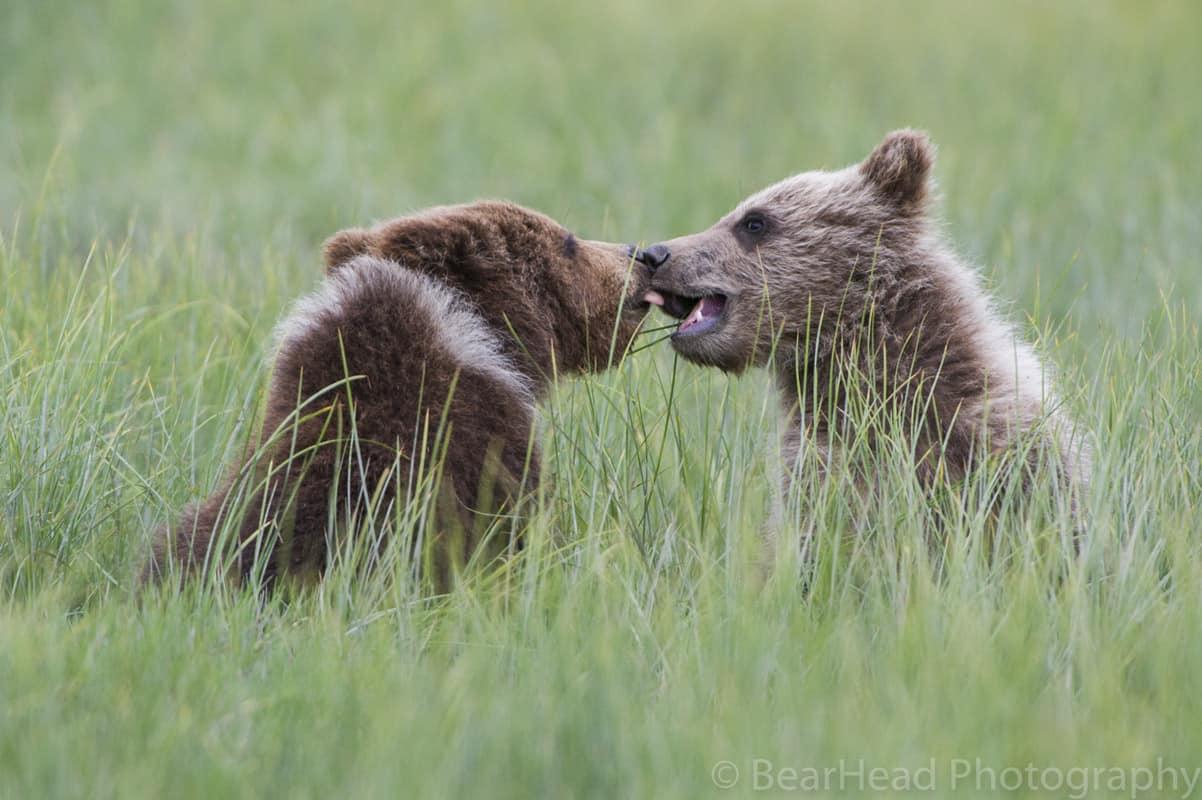 _3BH8260 bear photography