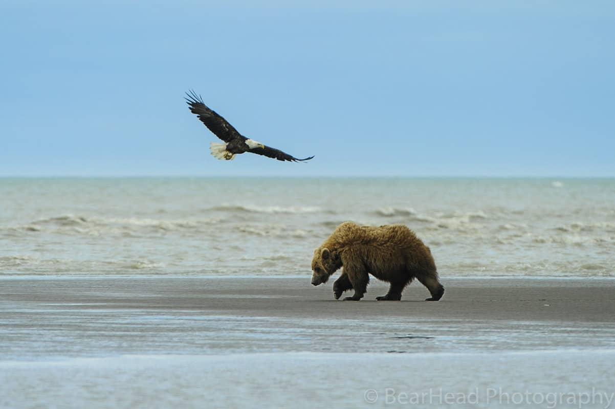 _A155829 bear photography