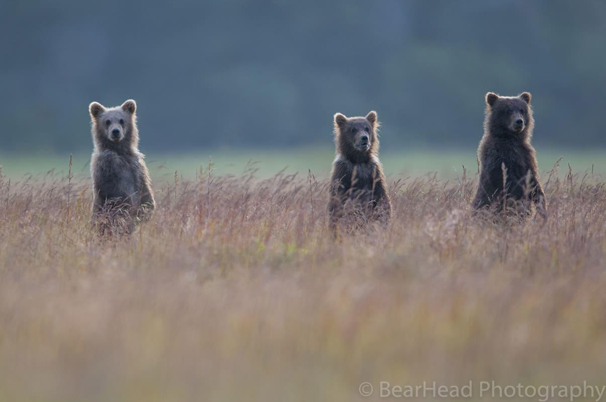_BHS6653 bear photography