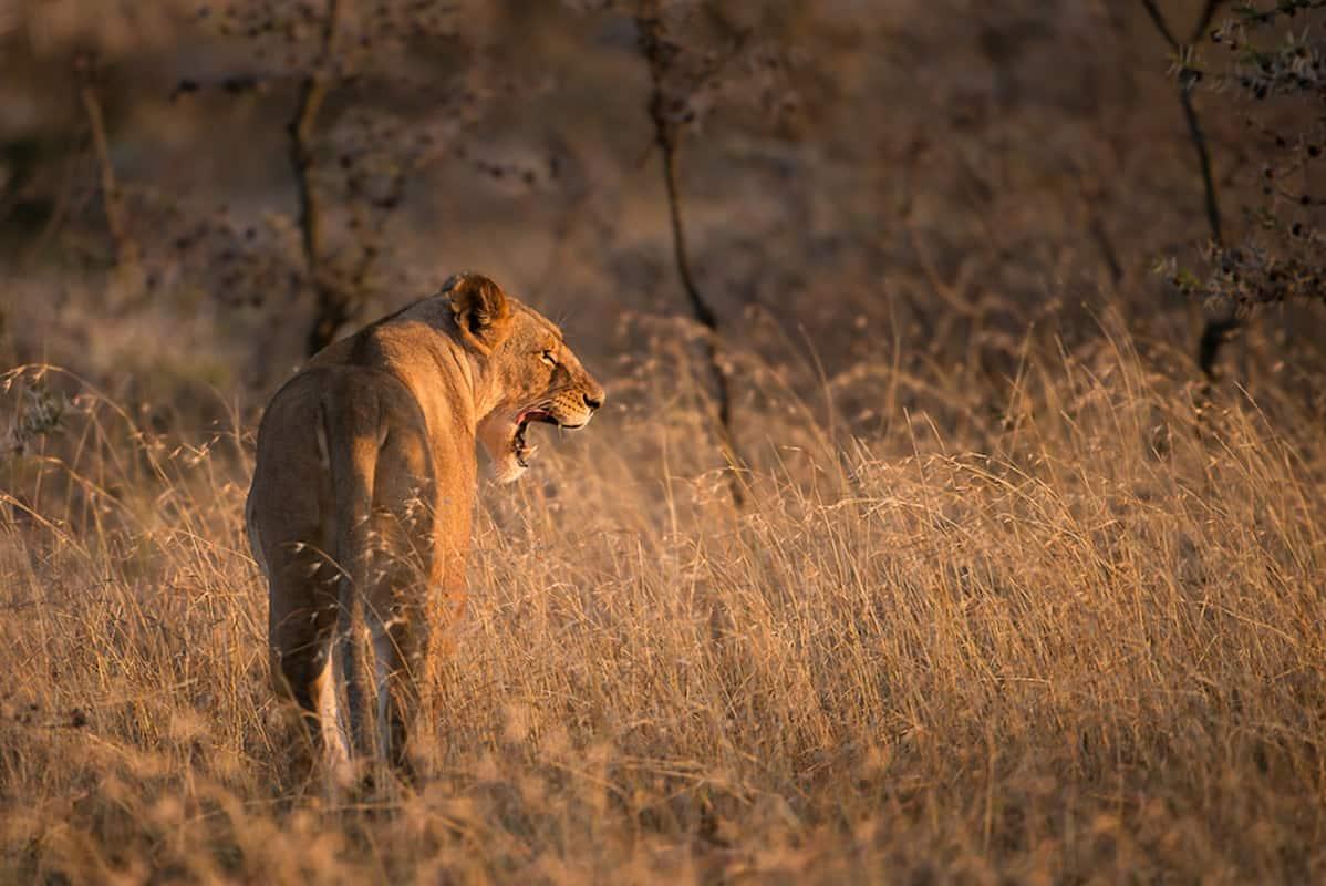 lioness copy Alan Hewitt Photographer