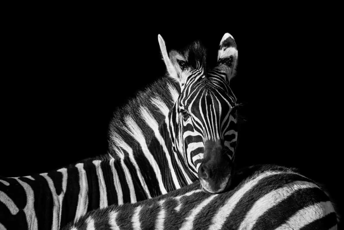 zebra Alan Hewitt Photographer