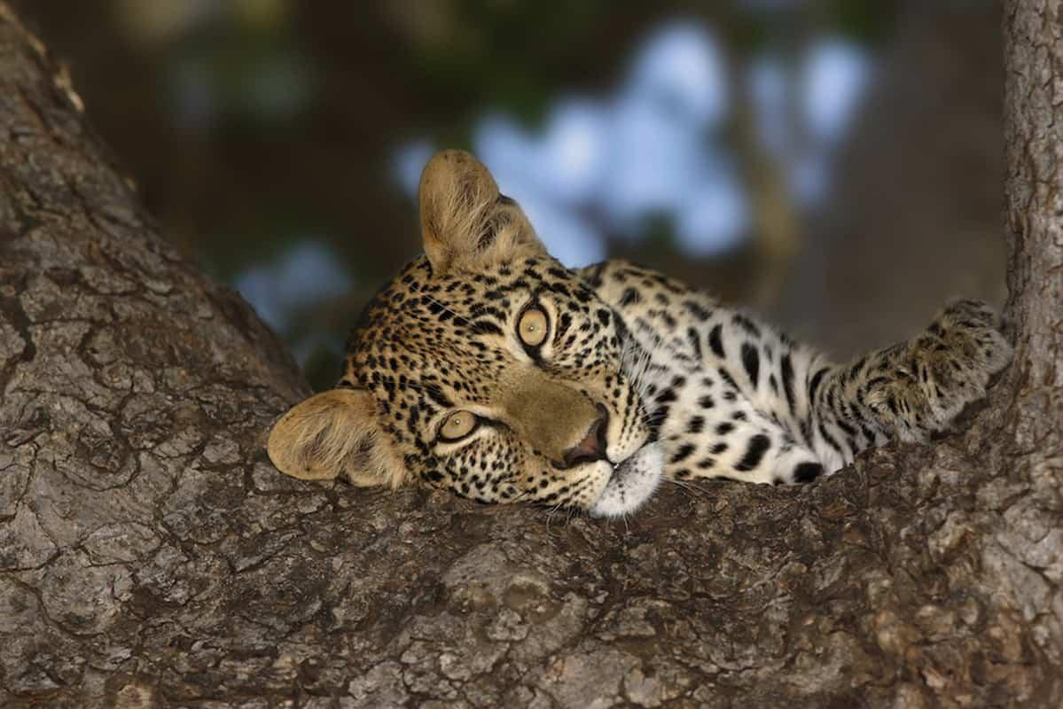 Close-up portrait of a leopard resting it;s head on a tree; Panthera pardus