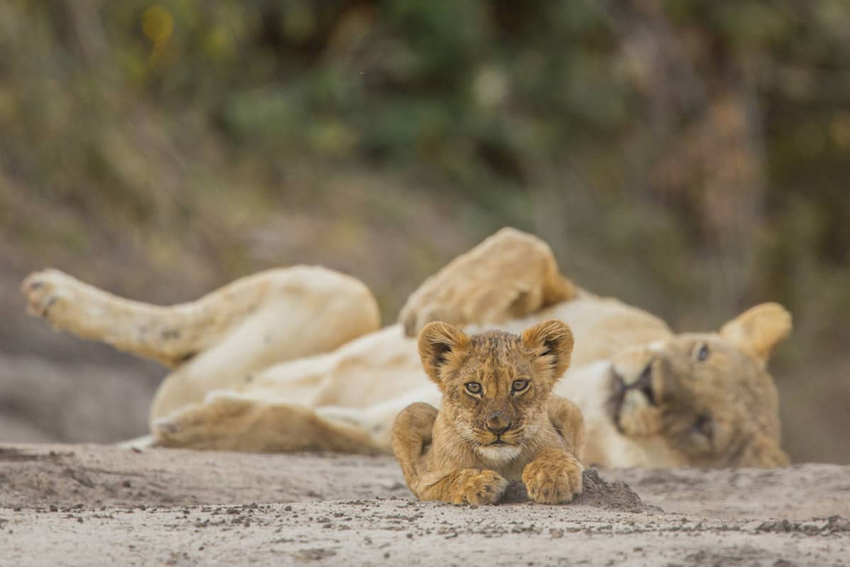 A Lion cub (Panthera leo) looks at the photographer whilst his mother dozes in the background. This picture was taken in Mana Pools National Park, a UNESCO World Heritage Site in Zimbabwe. The Lion is listed as vulnerable by the IUCN. This picture was taken in the early morning, with a Canon EOS 5D Mark III and an EF500mm lens.