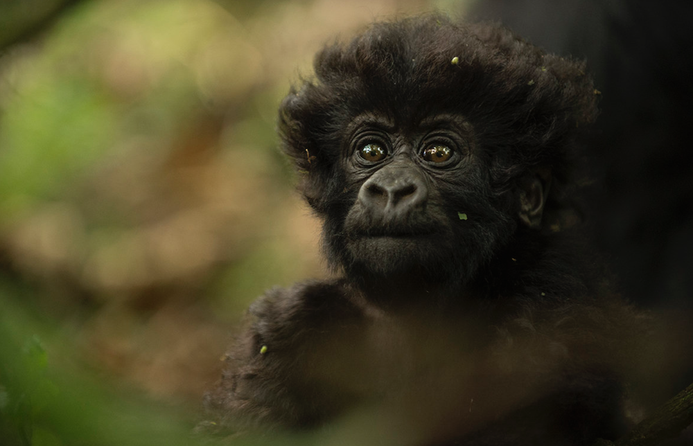 little mountain gorilla