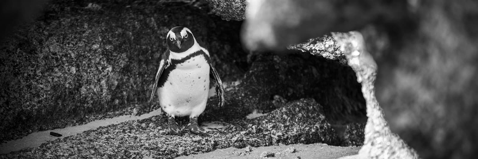 Cape Town Photography: African Penguins and Simon's Town