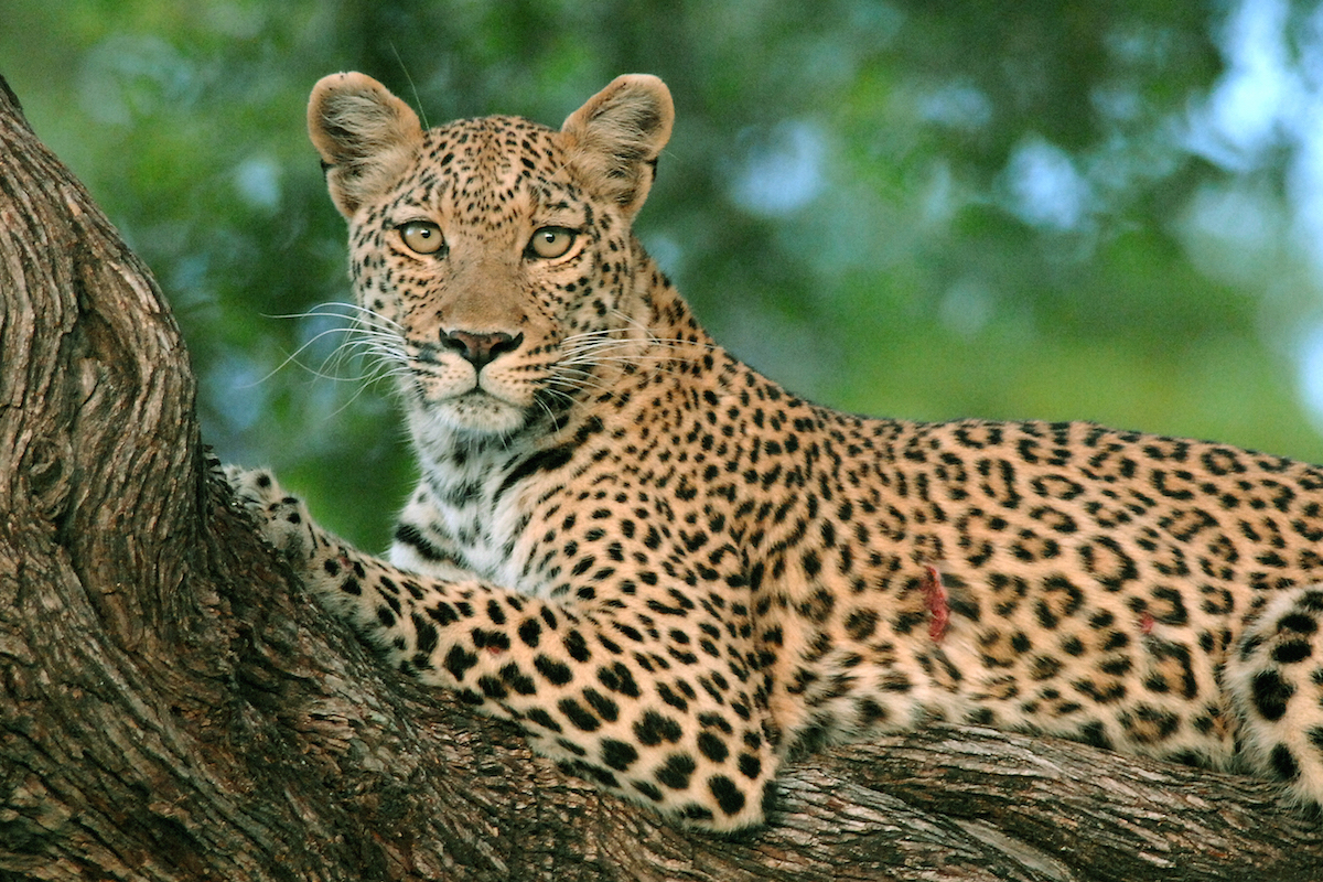 Female Leopard in a tree looking at camera