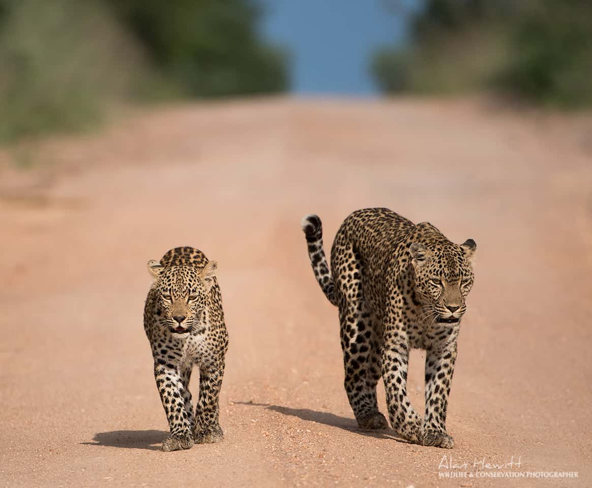 Sabi Sands leopards