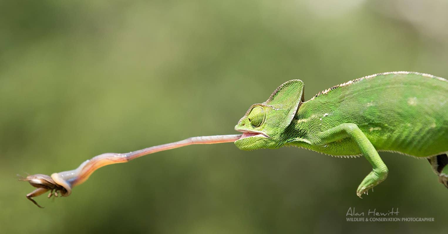 chameleon eating