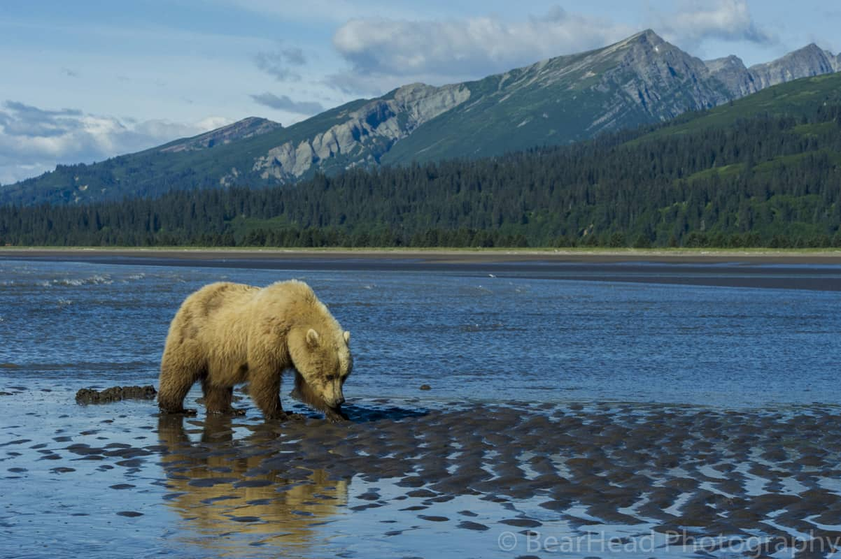 Brown bear in the lake