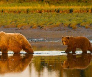 Brown-bear-photography