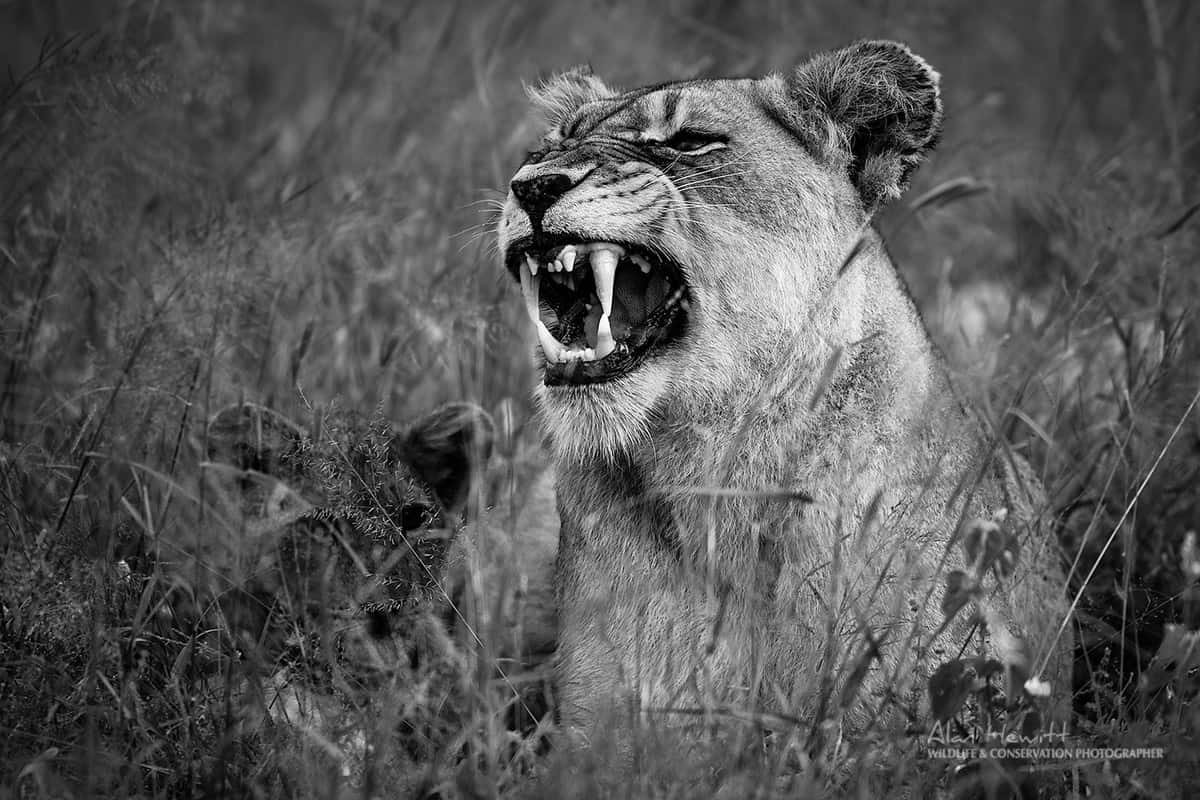 lioness in the nature