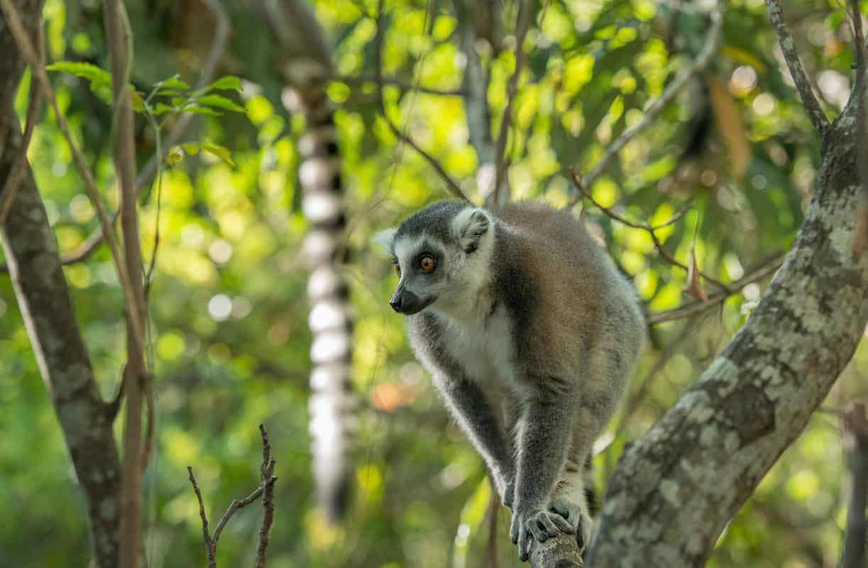 lemur, unique Madagascar