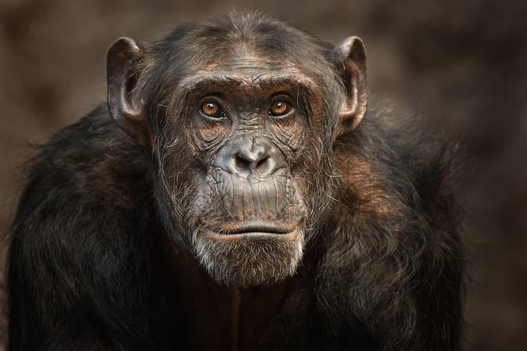 chimpanzee photography