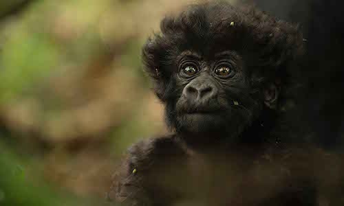 Mountain Gorilla Photography Workshop - Tours
