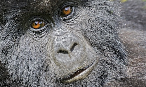 Uganda wildlife Photography - Ultimate Uganda Wildlife Photography: Gorillas, Chimpanzees & Safari