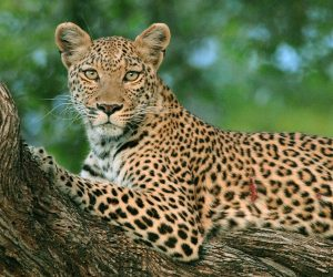 Leopard, Panthera pardus, female in a mopane tree, looking at camera, Botswana, Africa