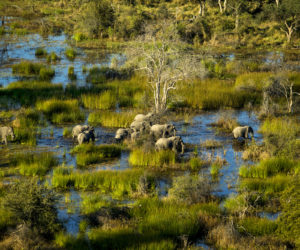 A group of elephant walking at Okavango Delta. Some of them are infant and others are adult. Aerial photography. It's day time. Elephants walking in water and plants that colour brown and yellow grass. The blue colour of the sky is reflecting to the water.