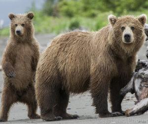 On the beach, a grizzly bear family, ursus arctos horribilis, looks at another bear on the beach.