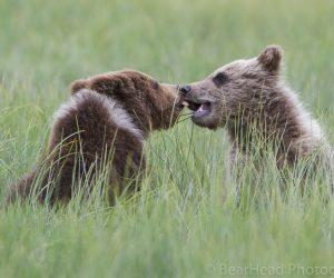 brown-bear-photography-workshop6