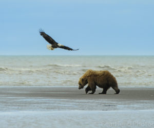 brown-bear-photography-workshop7