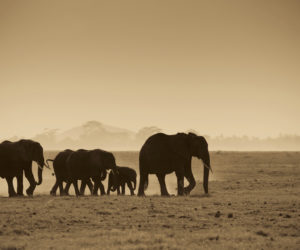 silhouettes of elephants, amboseli national park, kenya