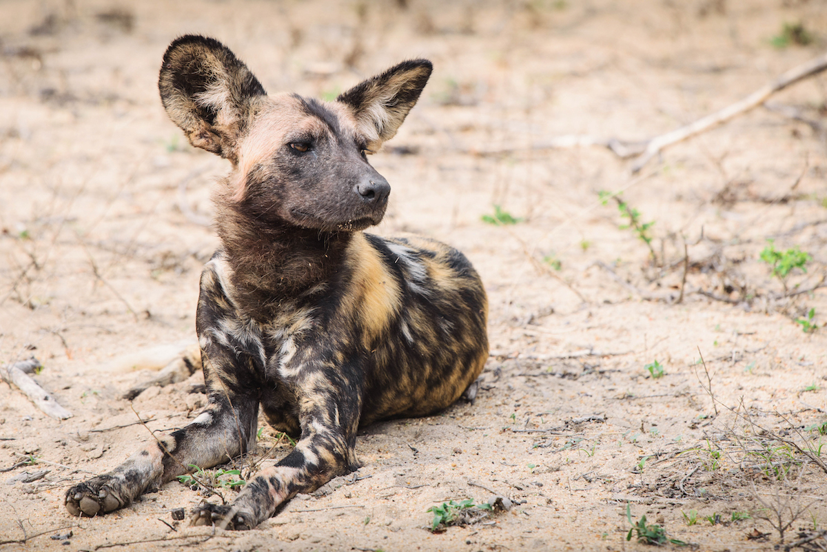 wild dog photography