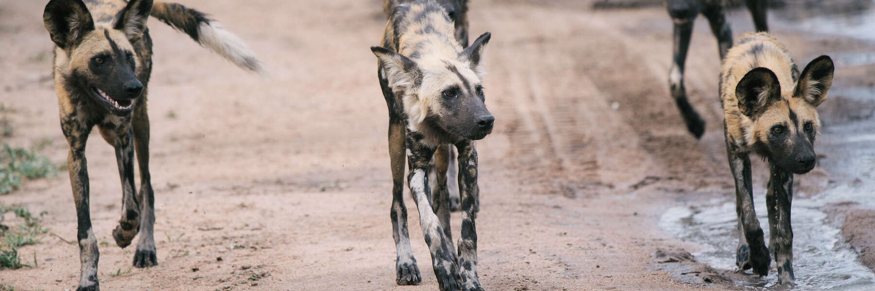 Behind the Image: African Wild Dog Photography