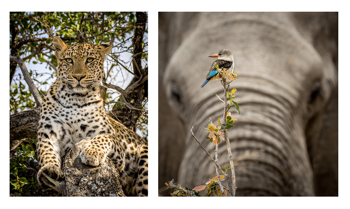Photograph of a Leopard in a Tree alongside a photograph of a Kingfisher set against the backdrop of an Elephant