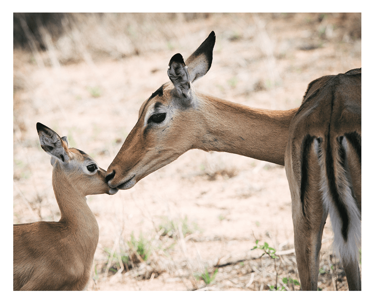 Photograph of a Female Gazelle with her Calf