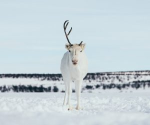 reindeer photography Norway