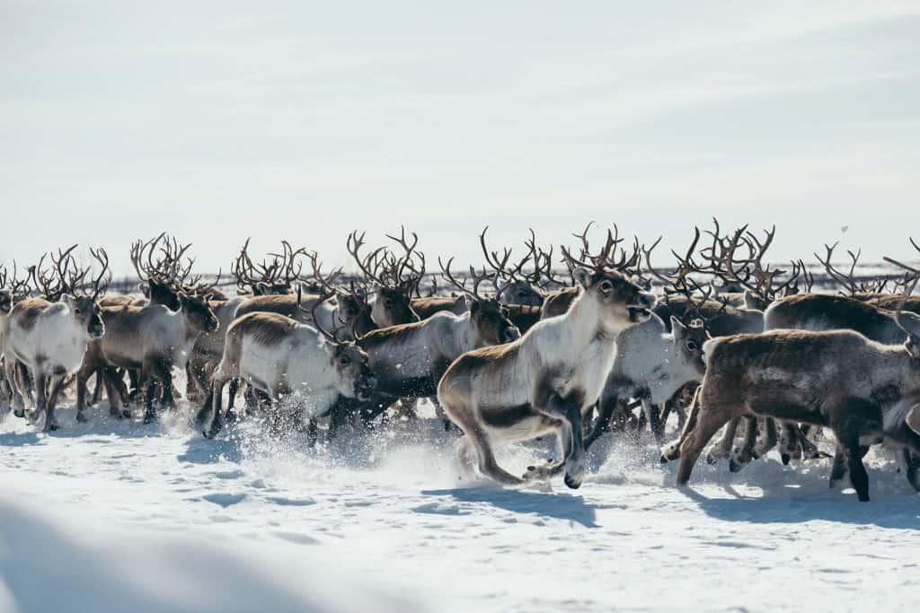 reindeer photography Norway