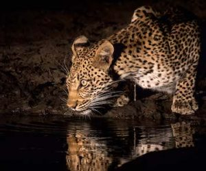 leopard feature spotlighting