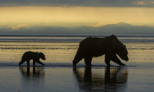 brown bear header - Conservation Photography and Climate Change