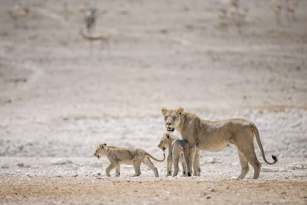 EmilvonMaltitz LionessandCubs AfricanWildlife - Five Tips For Choosing the Best Photography Travel Destination
